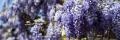 glicine in fiore Ischia